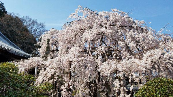 専称寺の桜